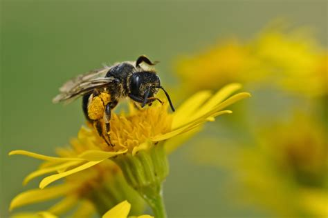 Free Images : flower, fly, wildlife, yellow, invertebrate, close up, hornet, wasp